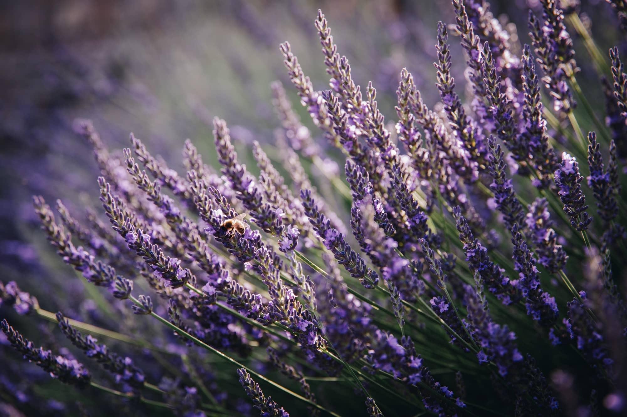 Fine-Art Print: Lavendel